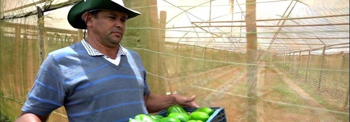No Distrito Federal: Produtores de pimentão comemoram boa safra e preços lucrativos
