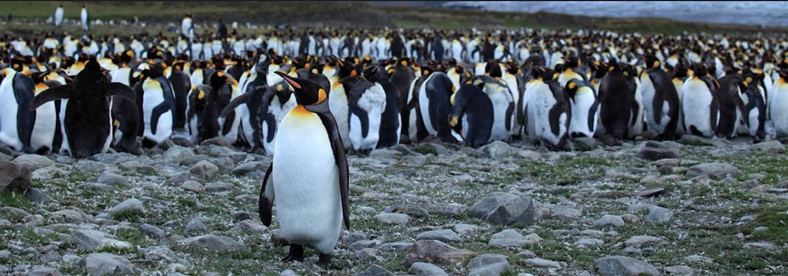 Pinguins-rei, quase 900 mil desapareceram sem pistas