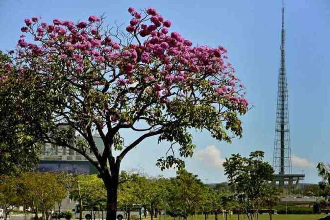 A beleza do ipê-roxo começa a tomar conta dos gramados do Distrito Federal