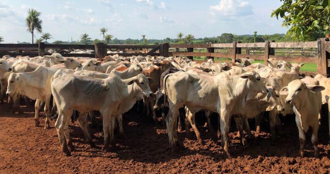 Greenpeace liga frigoríficos a criação ilegal de gado em área protegida