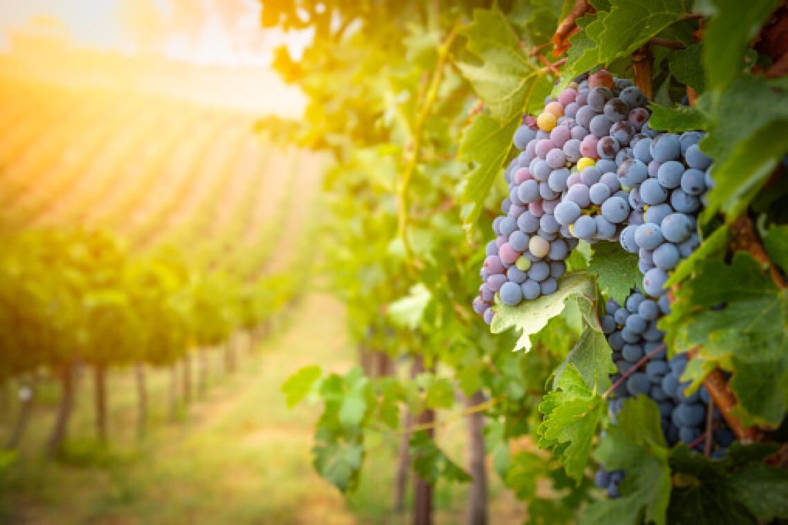 Ministra da Agricultura aprova medidas excecionais de apoio ao setor dos vinhos em Portugal