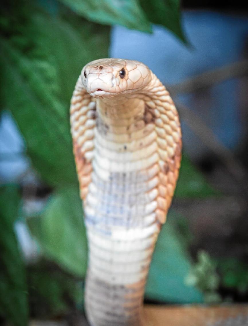 De cobras exóticas a tubarões em aquários. Após naja, Ibama recebe outras cobras