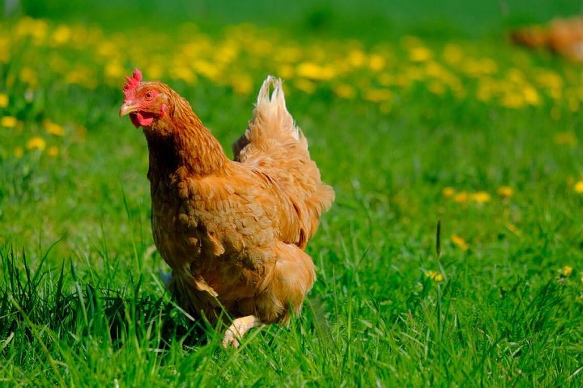 Um aviso das galinhas do mundo