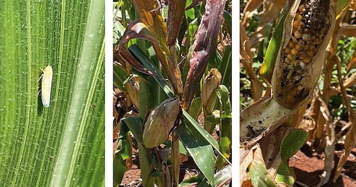 Doença ainda desconhecida pelos agricultores faz milho apodrecer antes da colheita