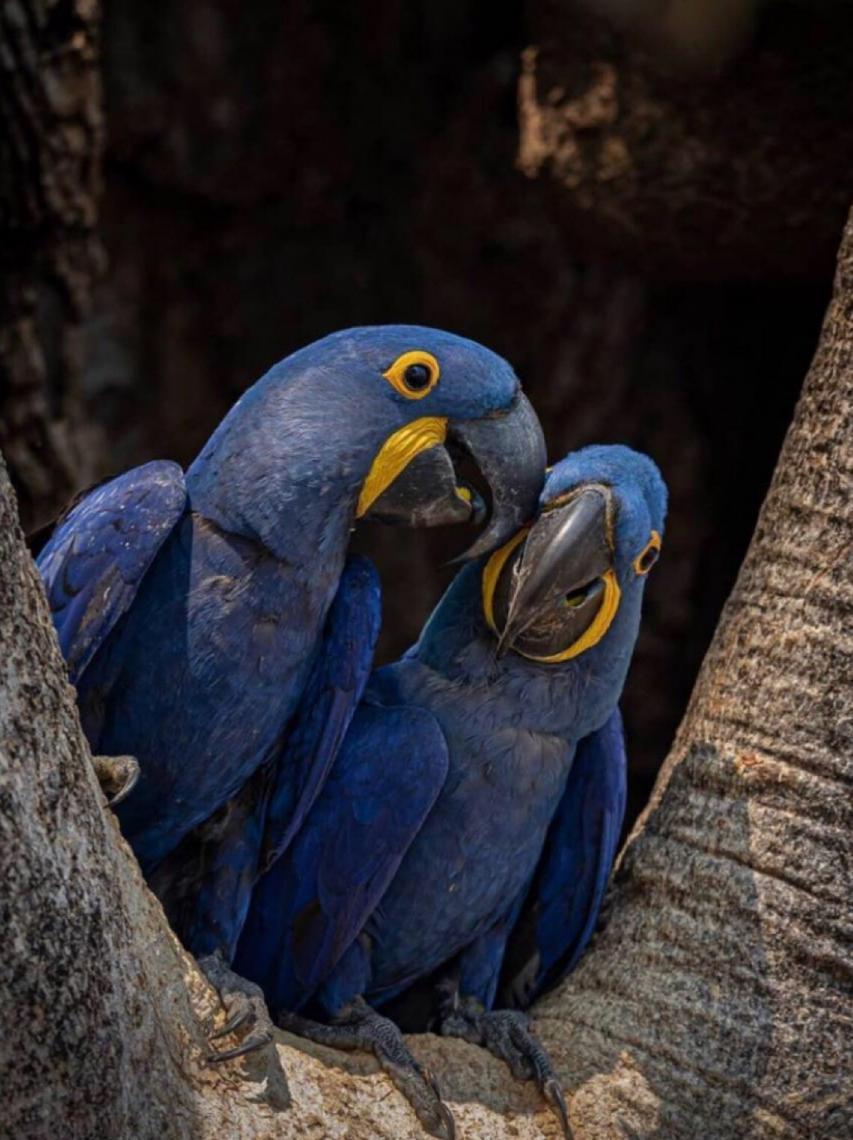 Estudo de pesquisadoras do Instituto Arara Azul relata caso pontual de contaminação de Arara-azul por agroquímicos no Pantanal