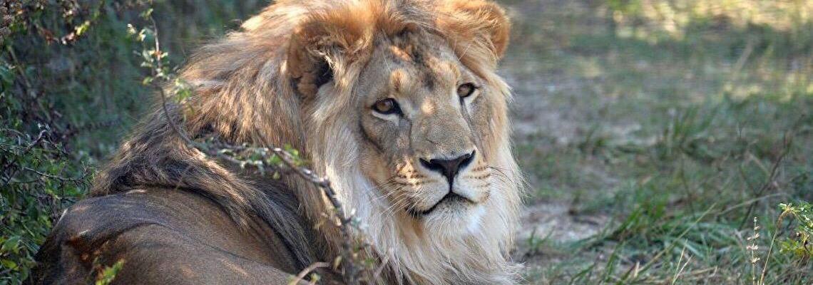 África do Sul vai proibir a criação de leões em cativeiro para caça de troféus