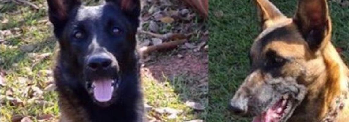 Cães de detecção obtidos por meio de TAC com MPDFT entram em atividade